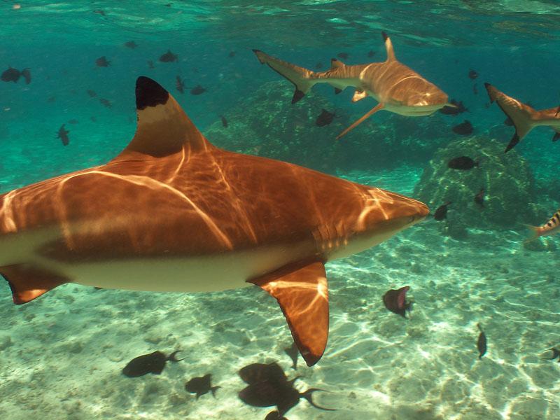 More blacktip sharks