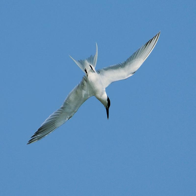 tern starting dive (I think Sandwich Tern)