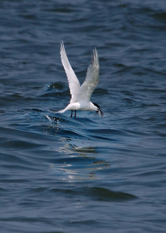 tern emerging from water with catch