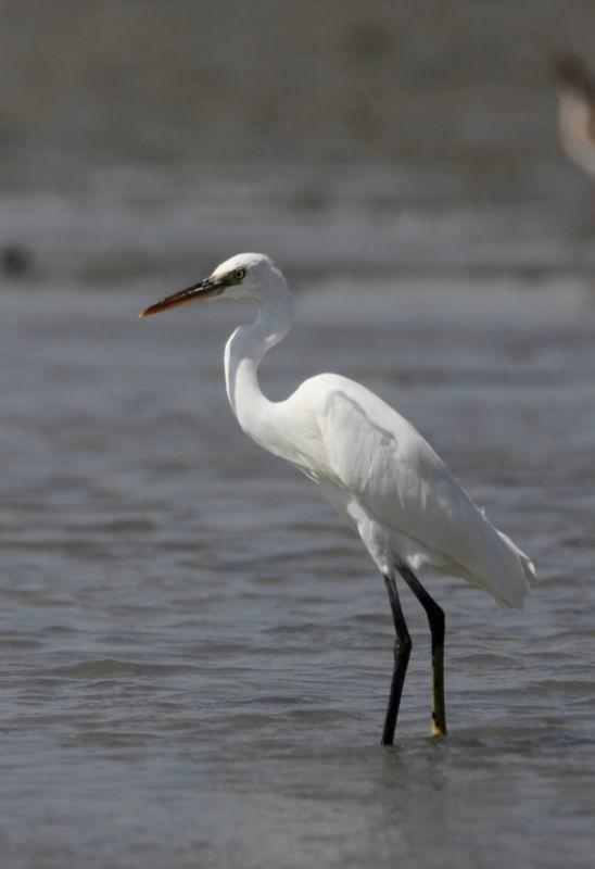 Western Reef Egret (Revhäger) Egretta gularis