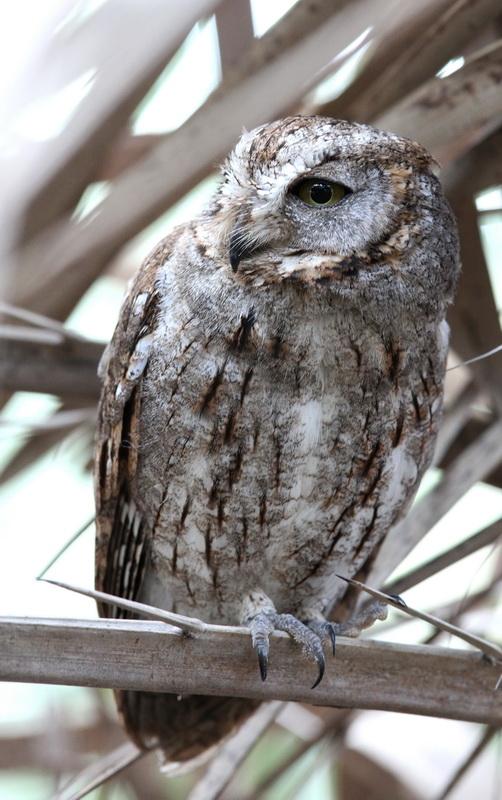 ´Socotra´Scops Owl (Sokotradvärguv) Otus sunia/socotranus