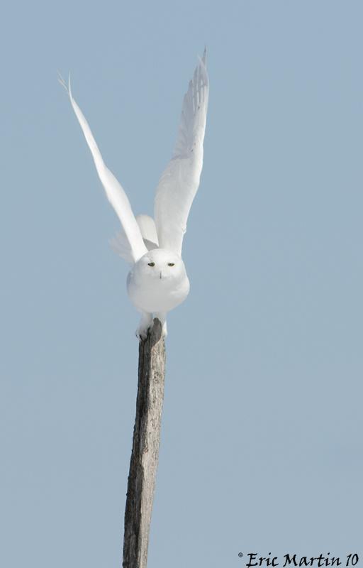 Harfang des Neiges  Mâle / Snowy Owl