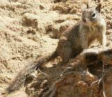 Leucadia: ground squirrel