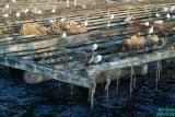 Vigo: Seagulls Resting on Mussel Farm