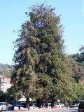 A Small Redwood