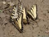 2007-05-04 Butterflies