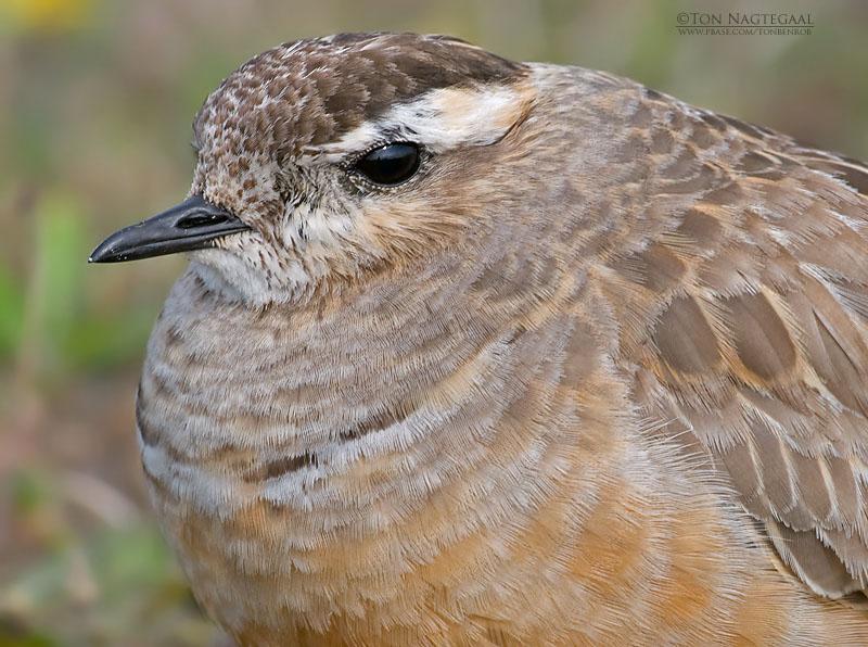 Morinelplevier - Dotterel - Charadrius morinellus