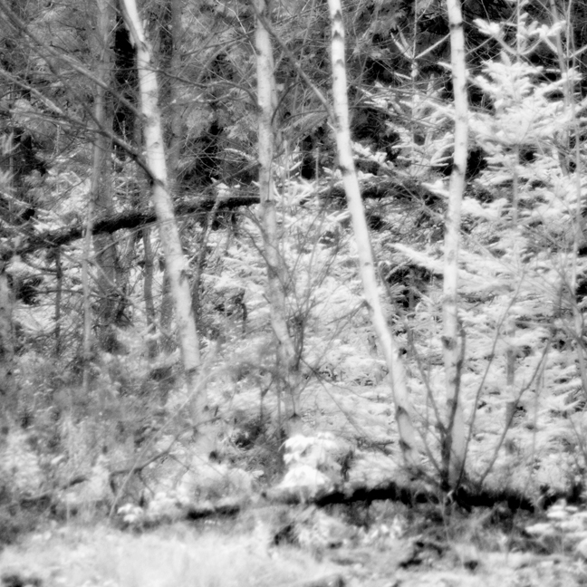 Birches, Pines and Fallen Trees