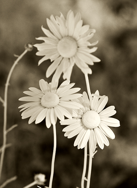 Three Daisies - Alternate Treatment