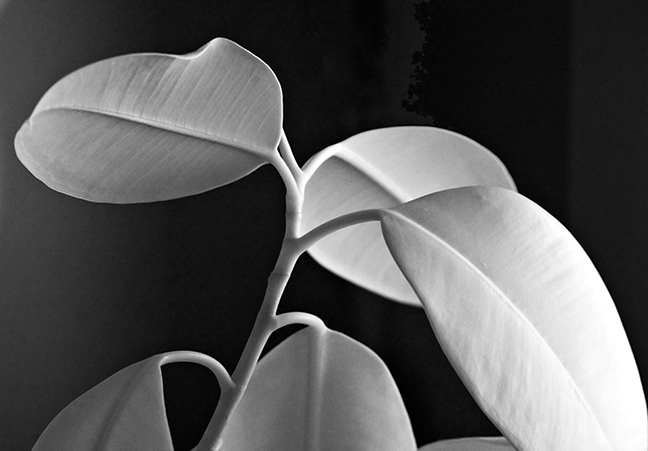 Rubber Tree Leaves #2