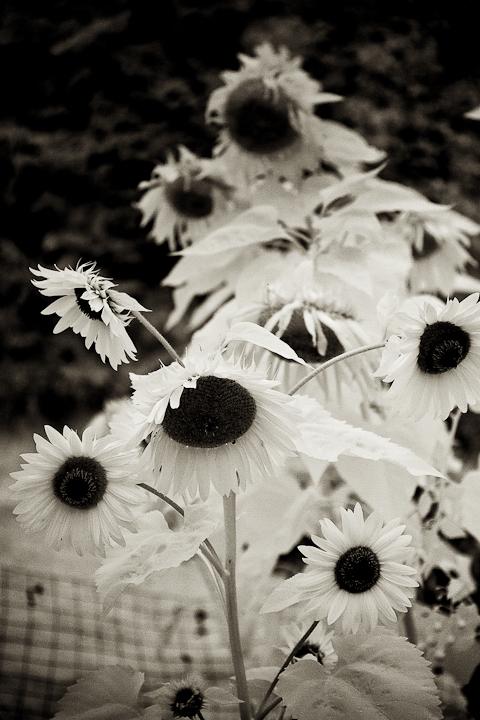 Sunflower 2009 IR #1