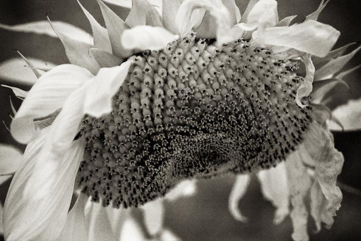 Sunflower 2009 IR #2