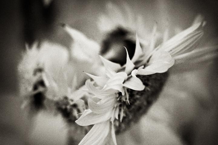 Sunflower 2009 IR #6