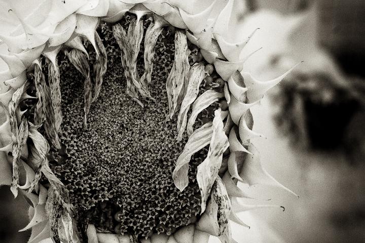 Sunflower 2009 IR #7