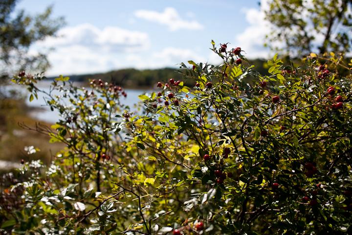 Red Berries Overlooking Morgan Bay