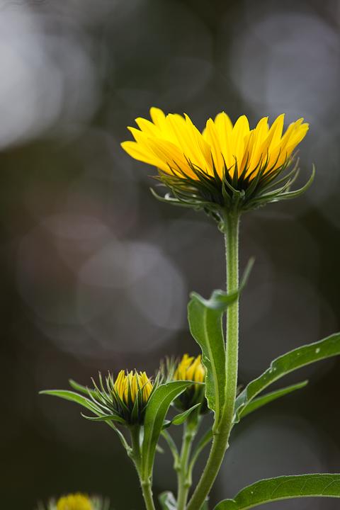 Sunflower 2009 #20