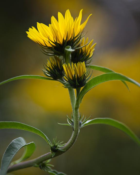 Sunflower 2009 #24