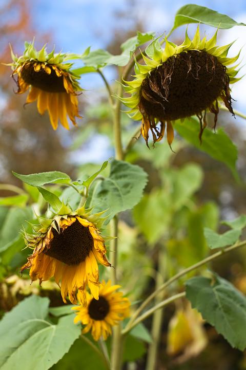 Sunflower 2009 #26