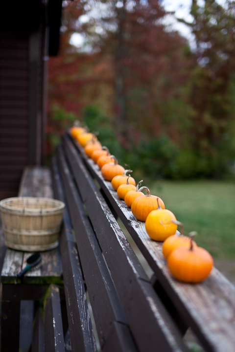 All the Baby Bear Pumpkins Harvested