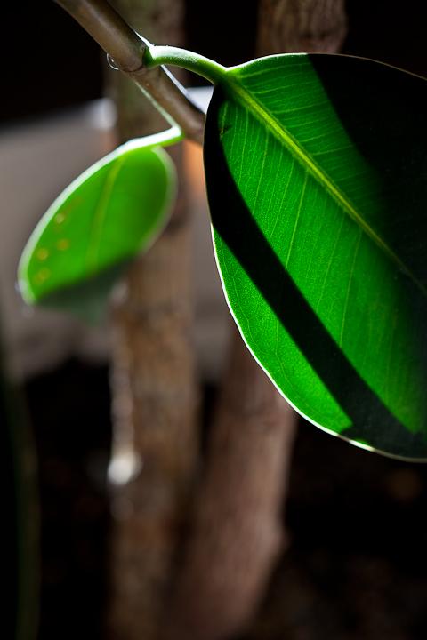 Rubber Tree Plant Leaves Backlit