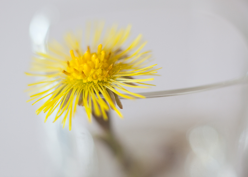 Study of a Little Yellow Flower #4