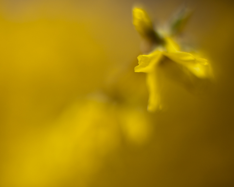 Forsythia Impression #1