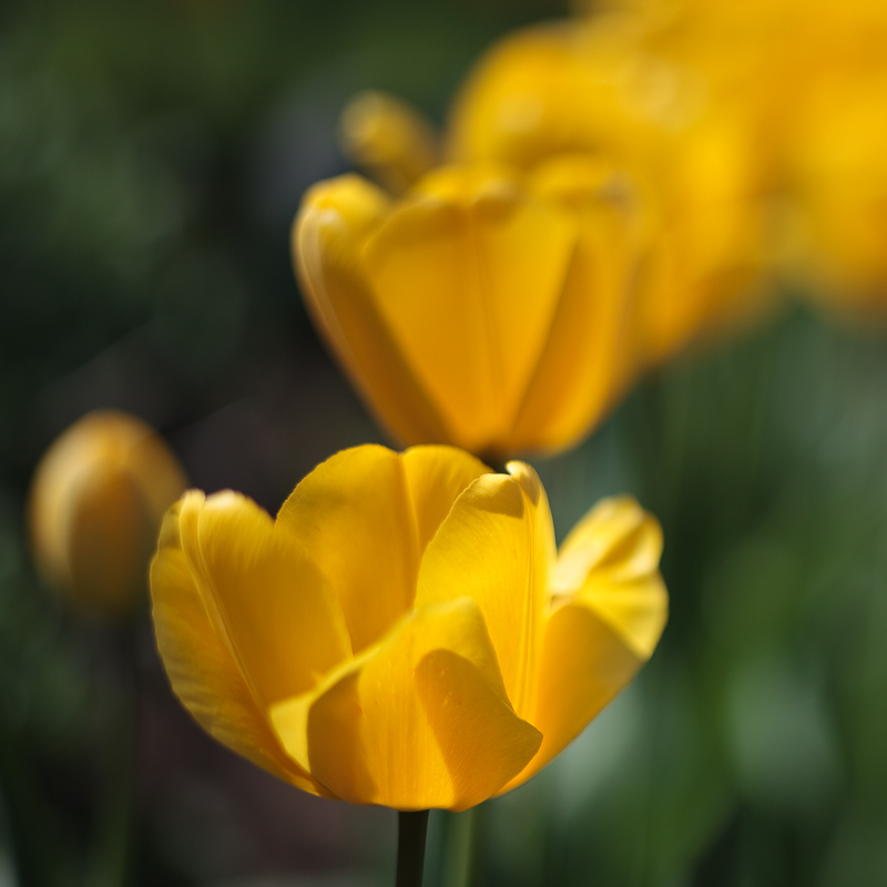 Franks Tulips 2010 #7