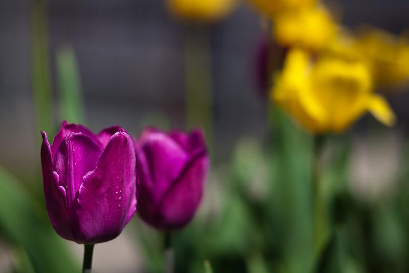 Franks Tulips 2010 #11