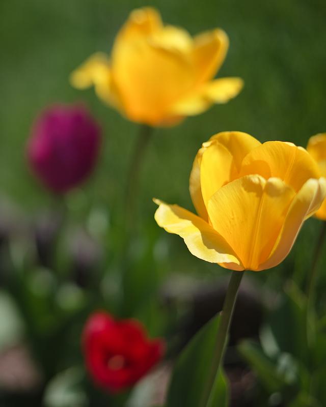 Franks Tulips 2010 #14