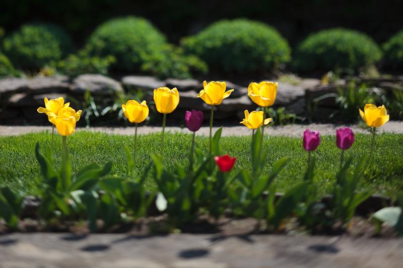 Franks Tulips 2010 #16
