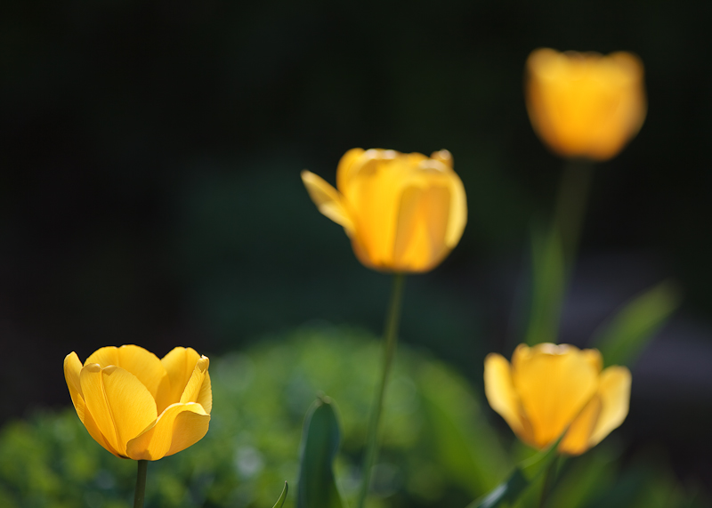 Franks Tulips 2010 #17