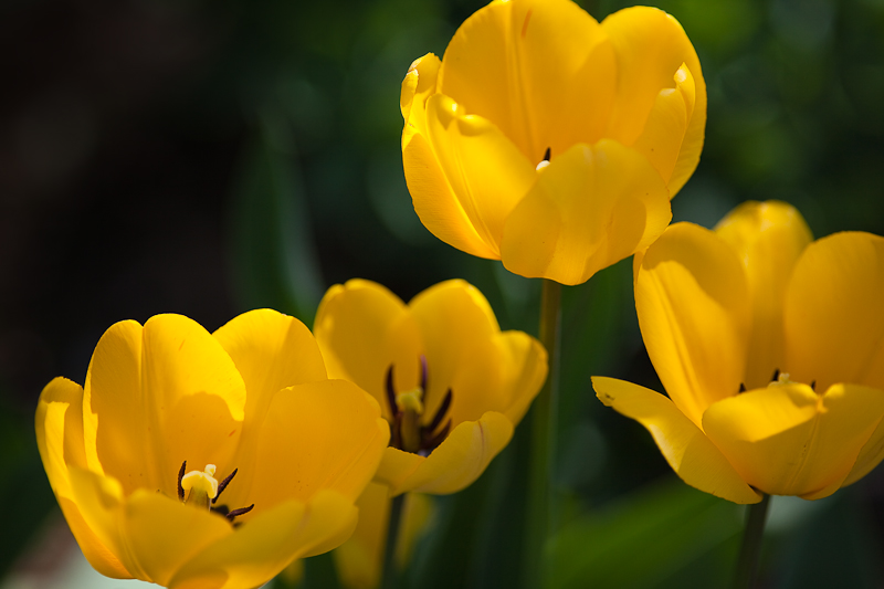 Franks Tulips 2010 #18