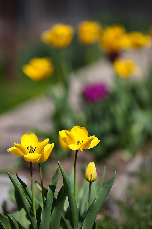 Franks Tulips 2010 #19