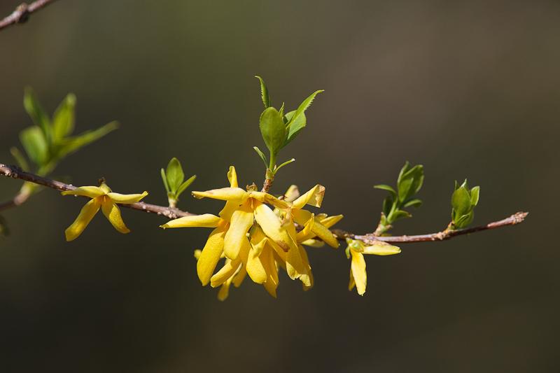 Forsythia Branch Profile