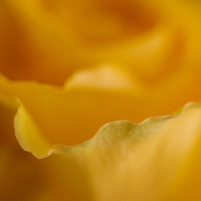 Yellow Rose Petal