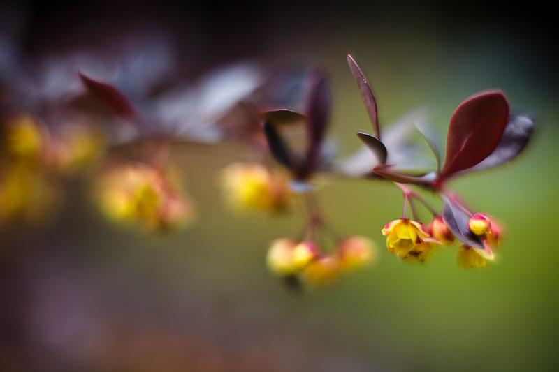 Yellow-flowered Bush #1
