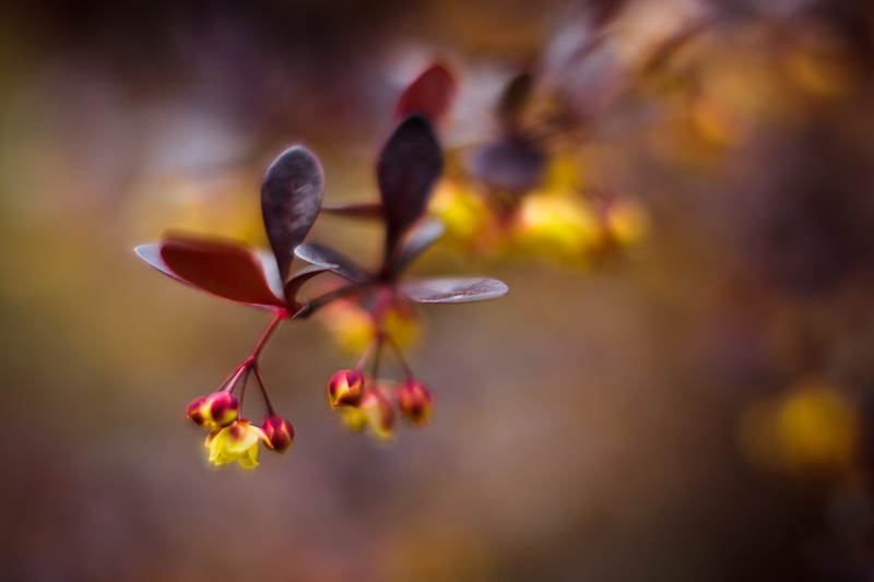 Yellow-flowered Bush #3