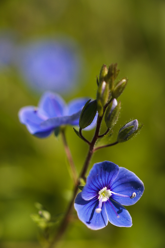 Germander Speedwell Pair #4