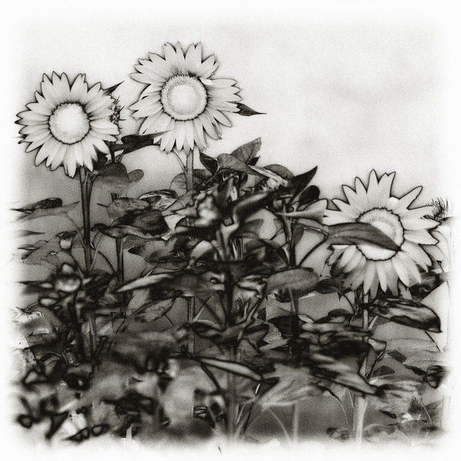 Solarized Sunflowers
