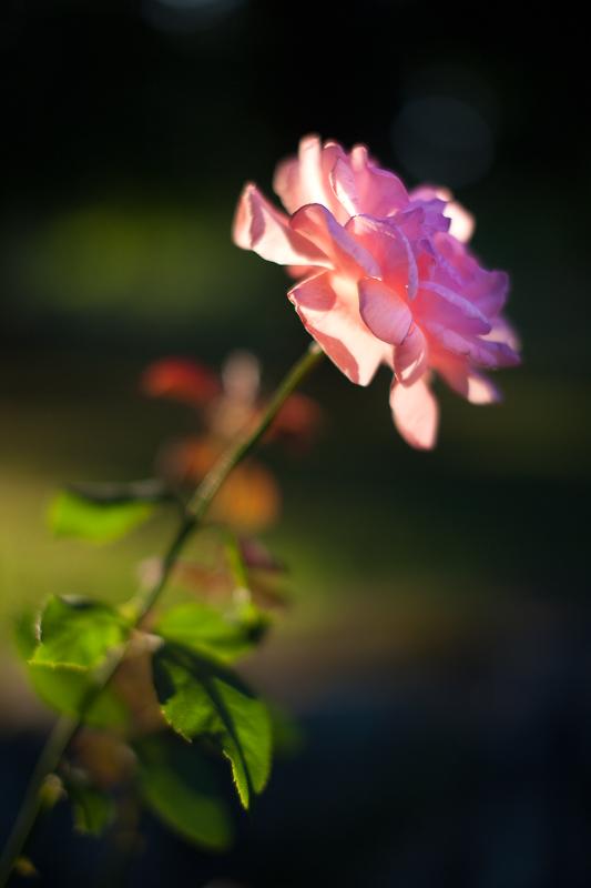 Backlit Rose #3