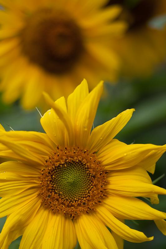 Foremost Sunflower #1