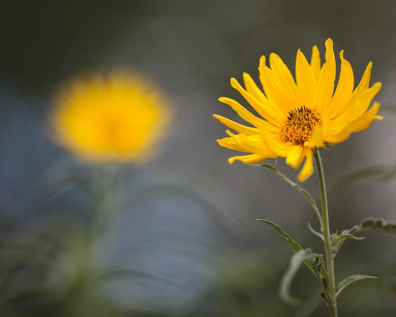 Small Sunflower Pair #2