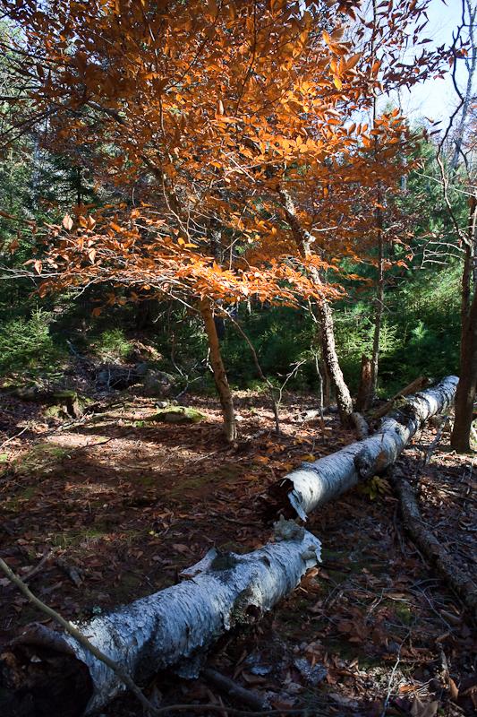 Fallen Birch and Orange Tree