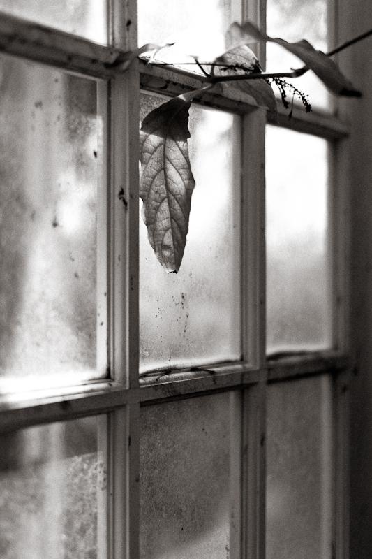 Leaf on Window