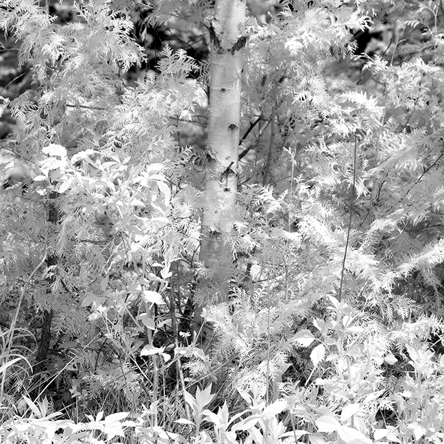 Young Birch and Brush
