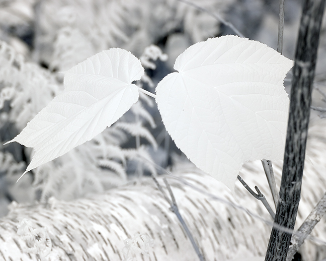 Leaf Pair by Fallen Birch