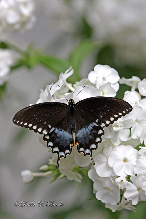 Spicebush Swallowtail 02