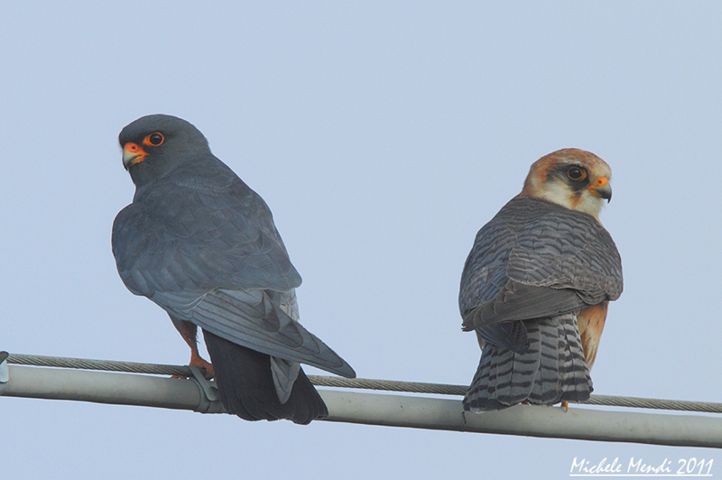 Red footed falcons