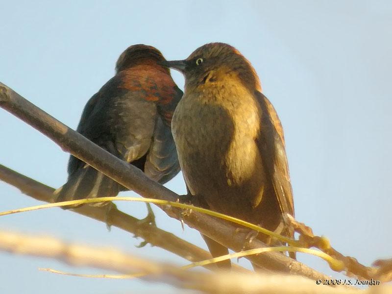RustyBlackbird1111dbb.jpg