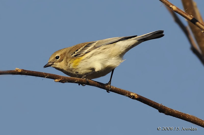 YellowrumpedWarbler8995b.jpg